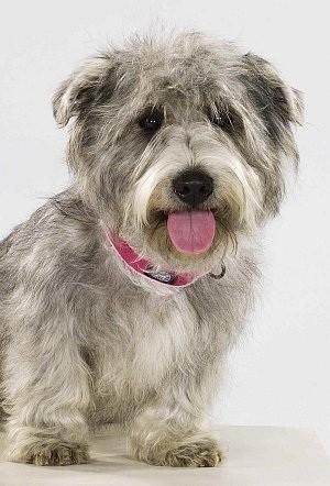 Glenn of Imaal Terriers