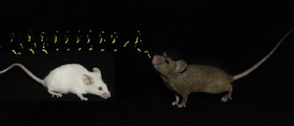 Male Mice Sing Romantic Songs to Attract Females