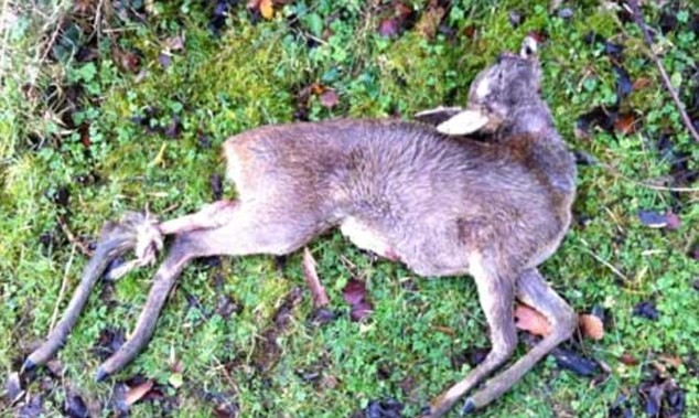 Remains of one of the roe deer