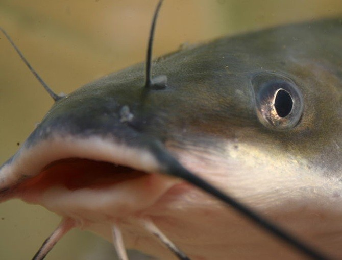 Catfish Predict Earthquakes