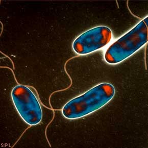 Legionnaires' disease bacteria