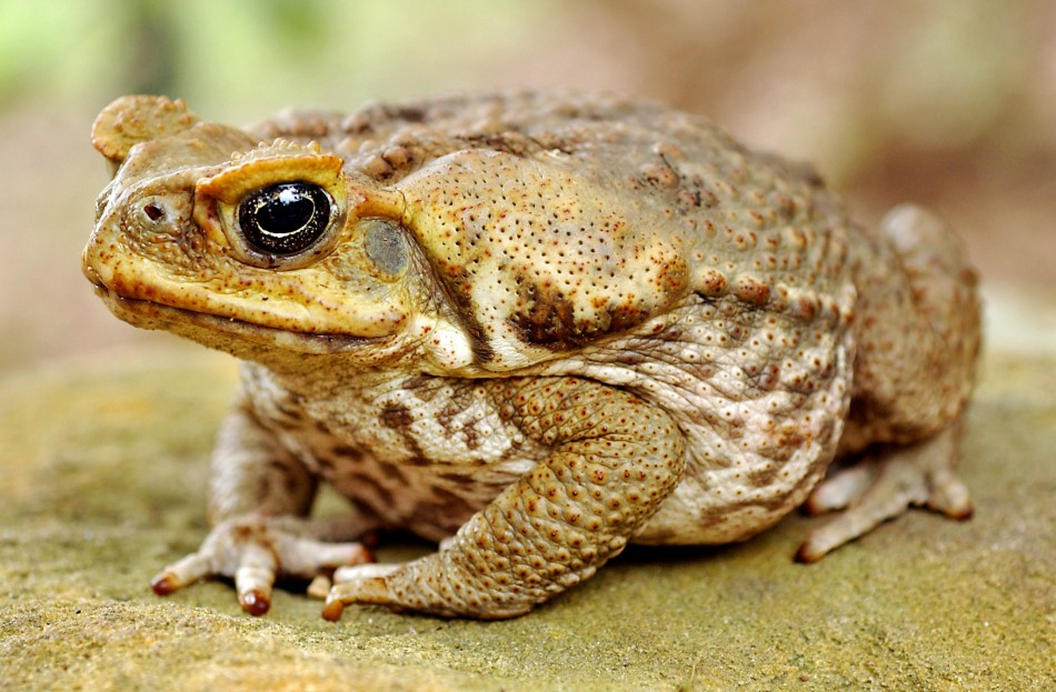 Toads can predict eathquakes