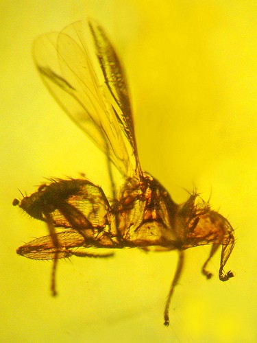 Dracula's Brood: Scientists Discover Blood-Sucking Bat Fly Fossil
