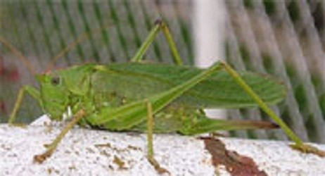 Prehistoric Crickets and Their Love Songs: Jurassic Serenades
