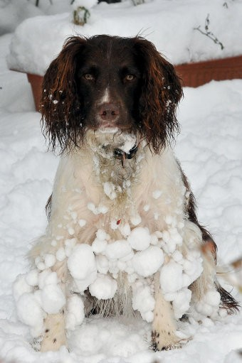 Young Springer Spaniel Tilly