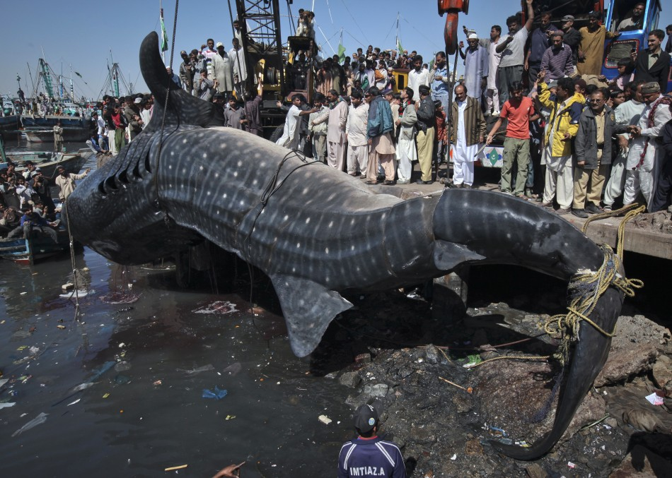 Residents gather as a whale shark is pulled from the water by cranes after it was found dead at Karachi's fish harbor