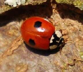 Invasion of Alien Ladybirds in Europe