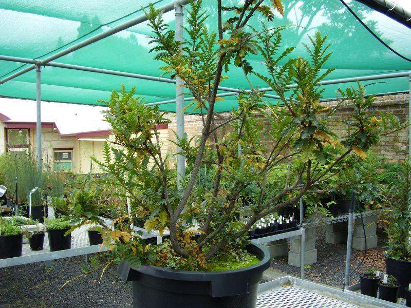 Kings Lomatia Lomatia tasmanica