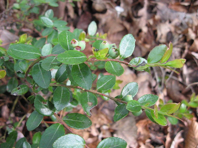 Box huckleberry (Gaylussacia brachycera)