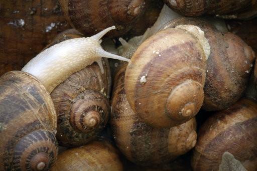 Creepy Crawlies: Scientists Develop Cyborg Snails