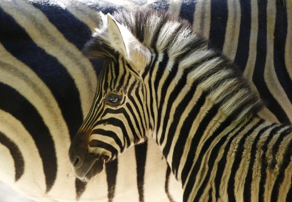 Zebras escape circus