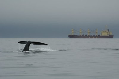Research Whales Stressed Out By Shipping Noise