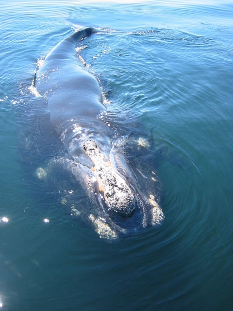 Research: Whales Stressed Out By Shipping Noise