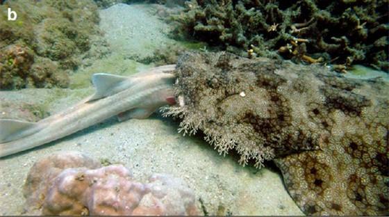 Its a Shark-Eat-Shark World Australian Researchers Take First-Ever Photographs