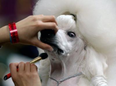 Sophie, a Standard Poodle
