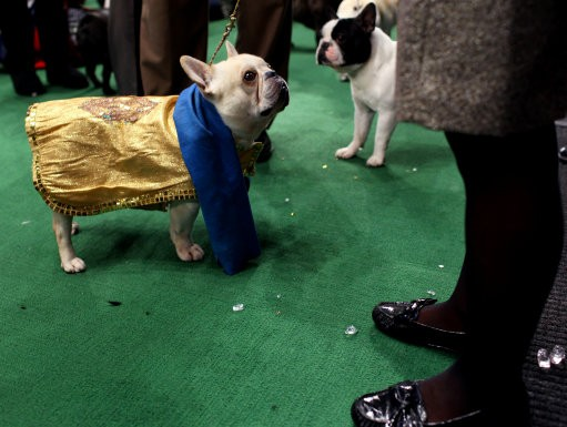 Champy, a French bulldog