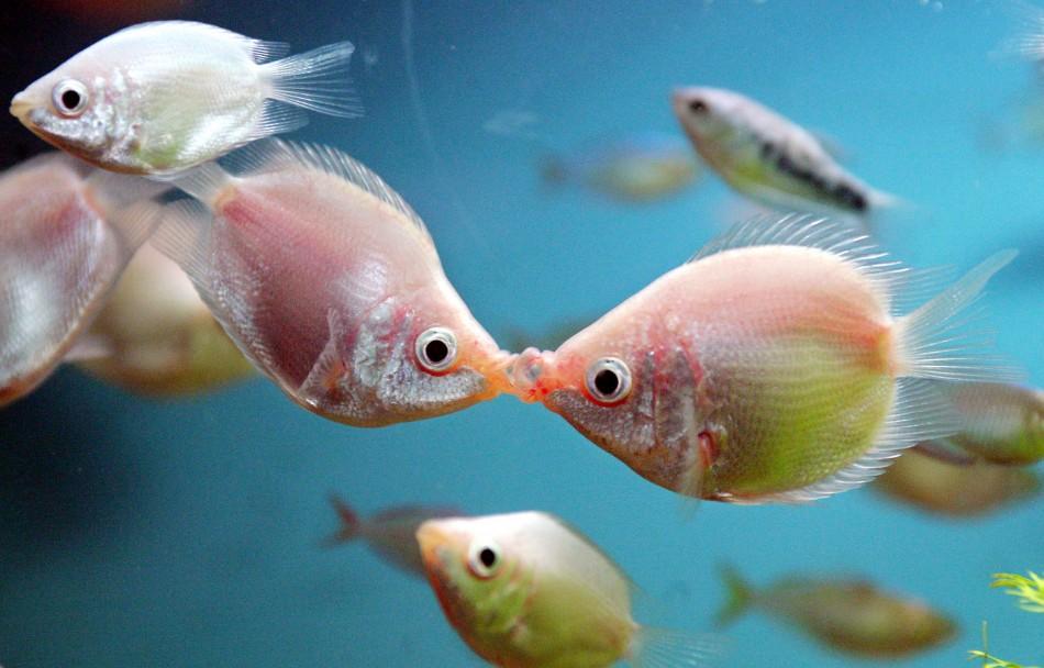 "Tropical ""kissing fish"""