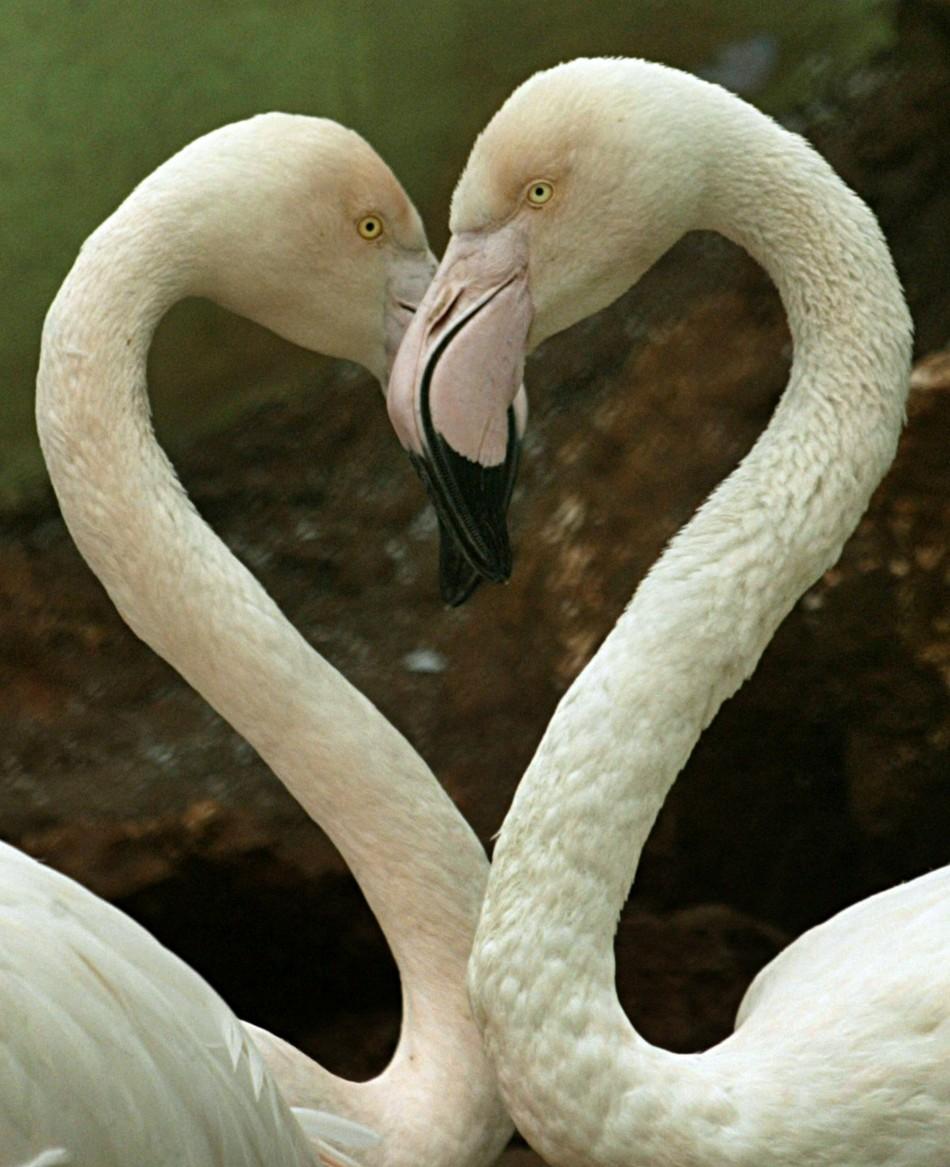 Flamingo lesbians