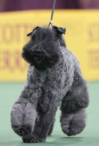 A Kerry blue terrier named Chelsey