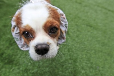 Jackson, a 6-year-old Cavalier King Charles Spaniel