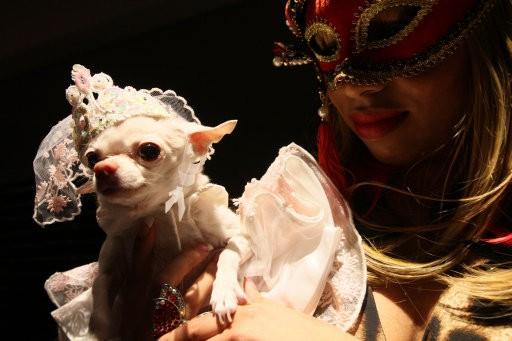 Daisy, a Chihuahua