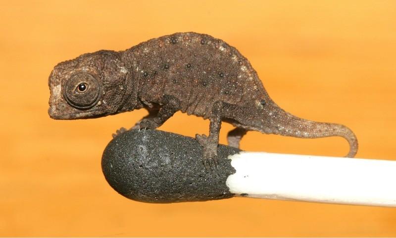 World's Smallest Chameleon