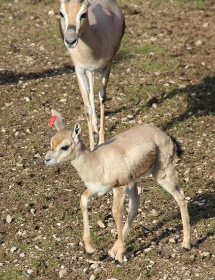 Speke's Gazelle