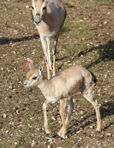 Spekes Gazelle