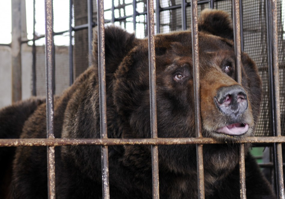 Endangered black bear inside cage at bile farm in Weihai, China