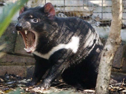 Researchers Have Discovered Root Cause of Tasmanian Devils Cancer