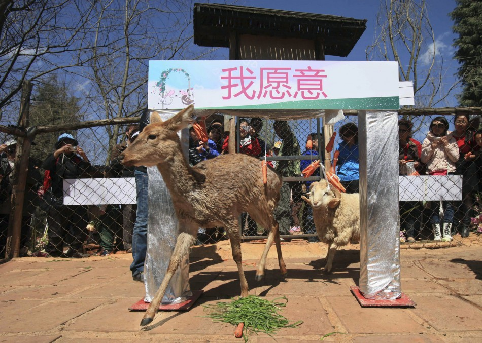 Changmao and Chunzi pass through an arched door during a cross-species wedding ceremony at Yunnan Wild Animal Park in Kunming