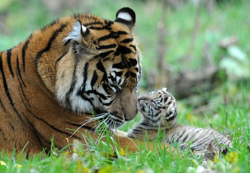 Research Prove How Tigers Got Their Stripes
