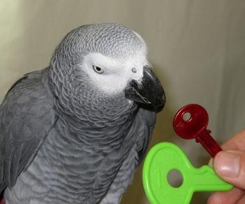 Alex, the parrot