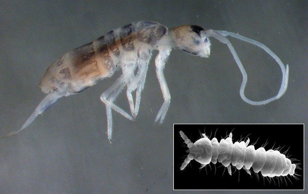Four New Species Of Springtails Discovered Near Black Sea