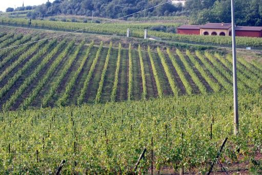 New Species Of Moth Invades Vineyards In Italy