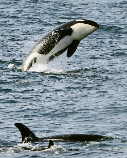 Satellite Tagging to Provide Insights Into Killer Whales' Locations
