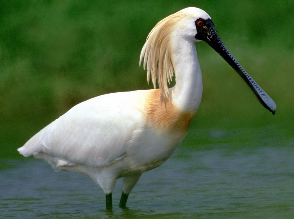 5.The Black-faced Spoonbill