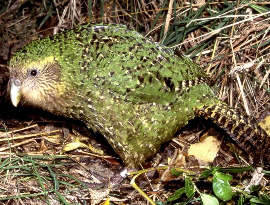 4. The Kakapo