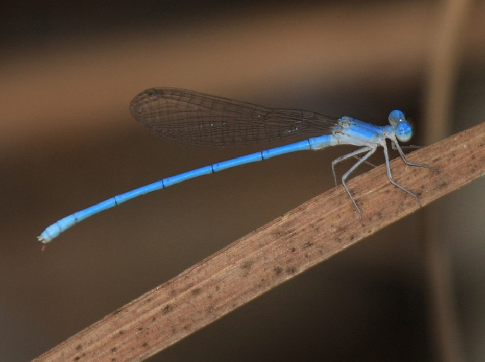 1:The Powder Blue Damselfly