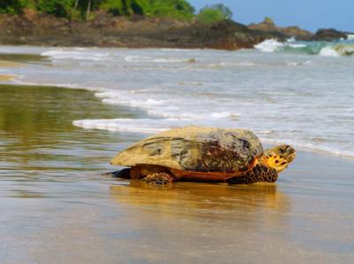 2. Hawksbill Turtles