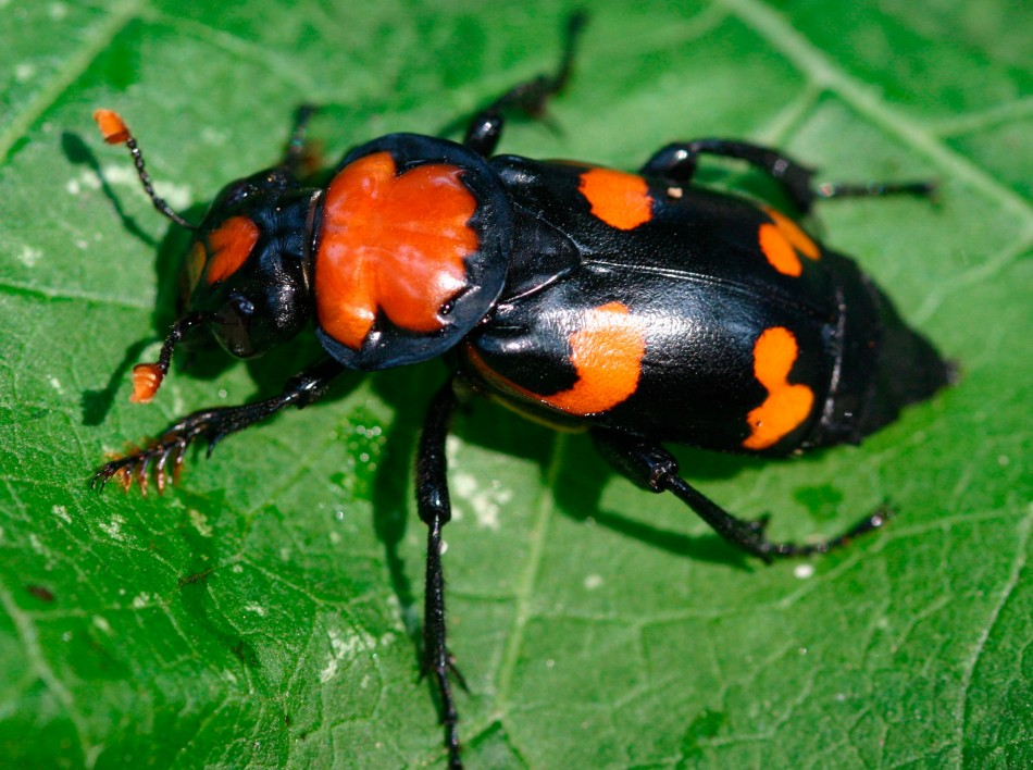 3: The American Burying Beetle