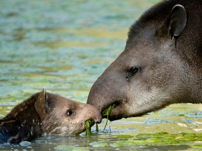 7.The Lowland Tapiralso