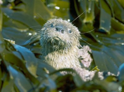 9 The Marine Otter