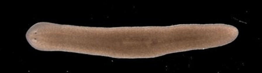 Asexual Flatworms A Key To Immortality