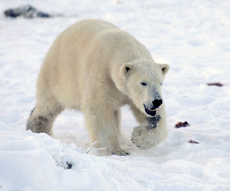 Chinese millionaires are paying to hunt polar bears in Canada (Reuters)