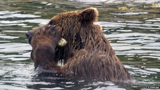 'Hair of Grizzly Bear' Study to Determine Population Size Launched