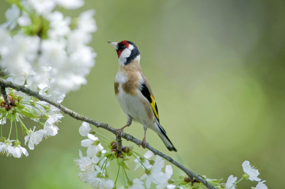 A Huge Increase In Dazzling Goldfinch Birds