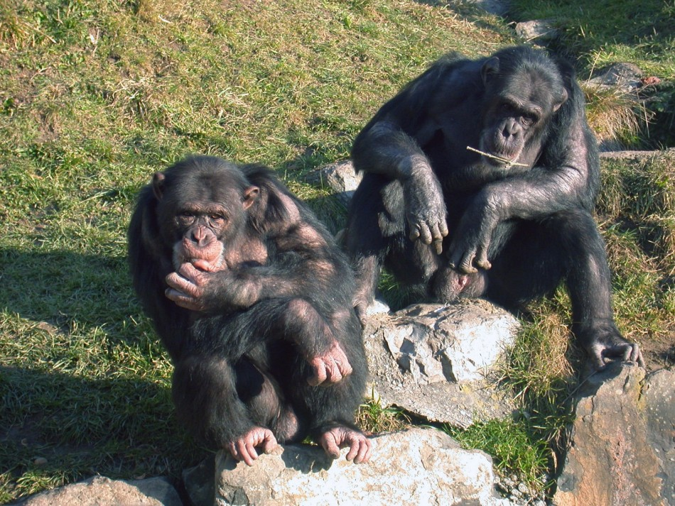 Chimpanzees Also Have Police