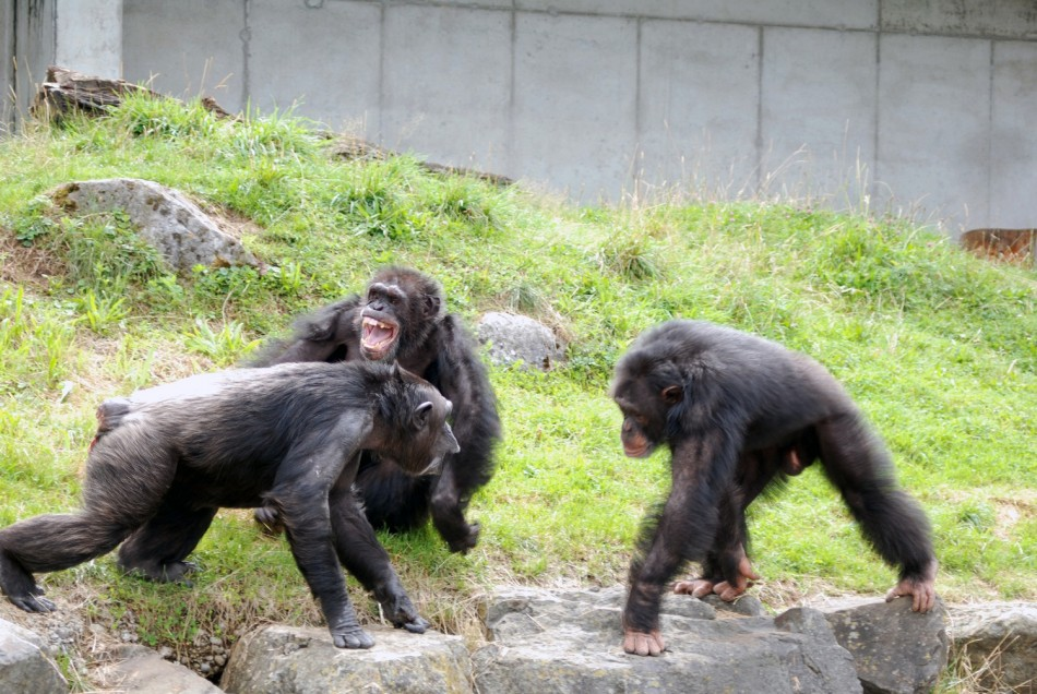 Chimpanzee attack