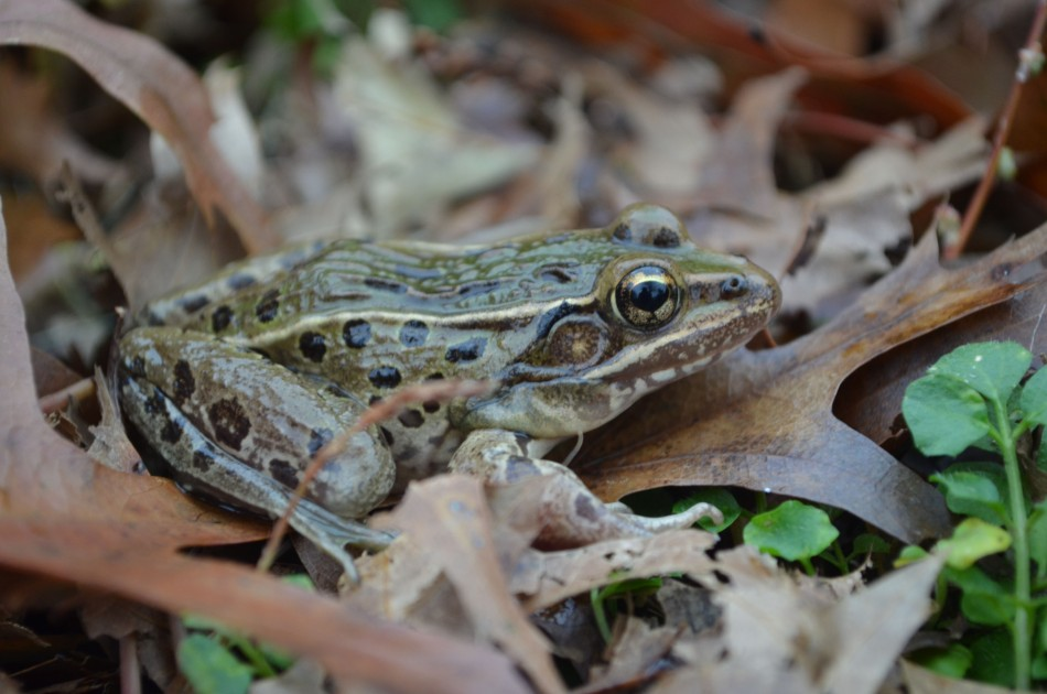 A new species of leopard frog